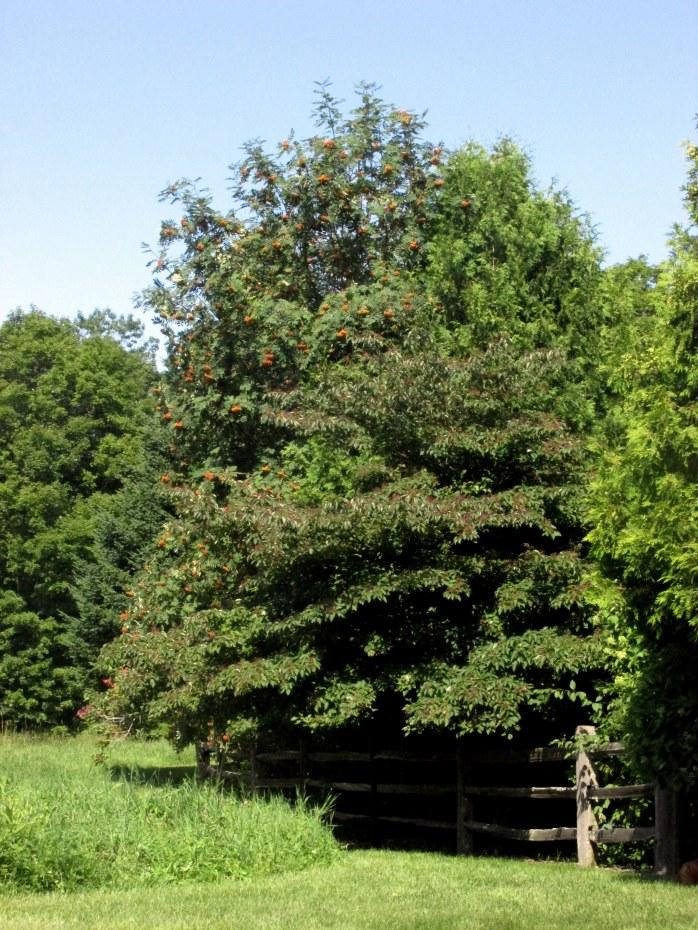 hugepagodadogwoodashtreesDistantHillsGardensWalpoleNH6Aug2017