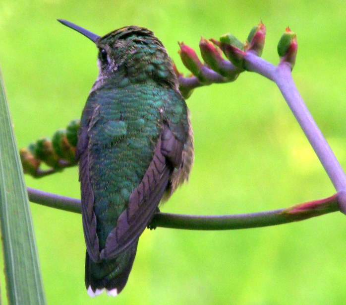 hummingbirdbacksidefacecrocosmia8Aug2017