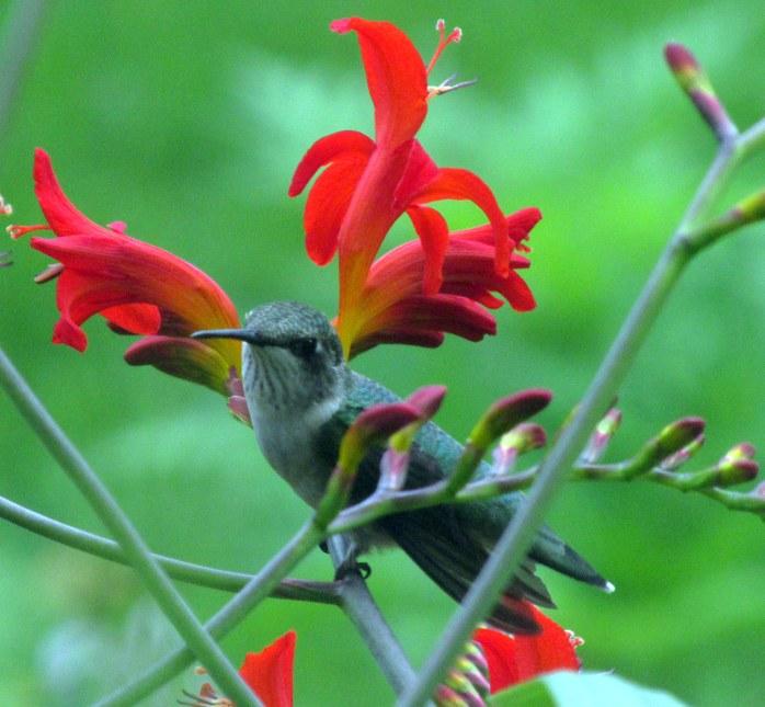 hummingbirdperchedcrocosmiaflowersstems20July2017