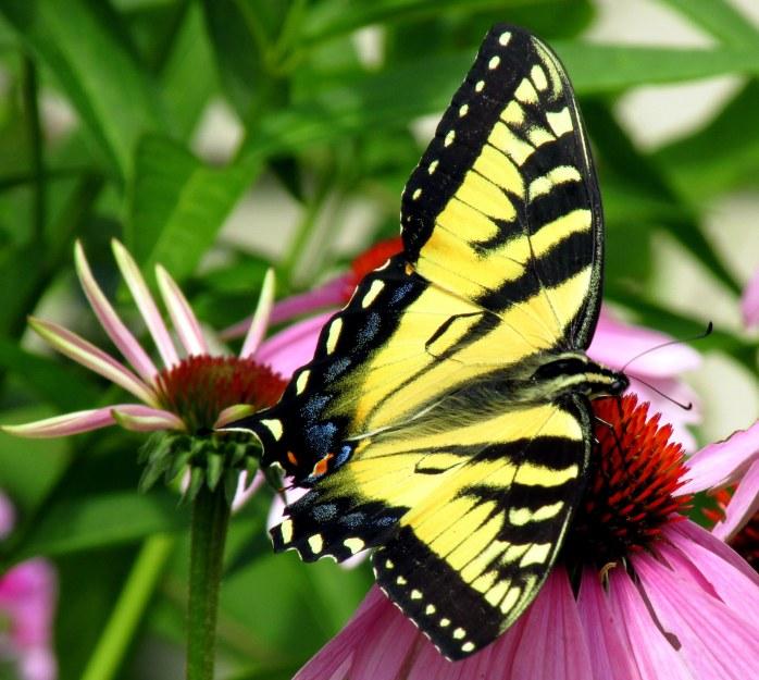 largeswallowtailbutterflyechinaceab7Aug2017