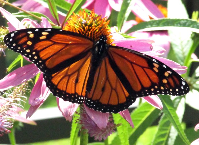 monarchbutterflyechinaceac9Aug2017