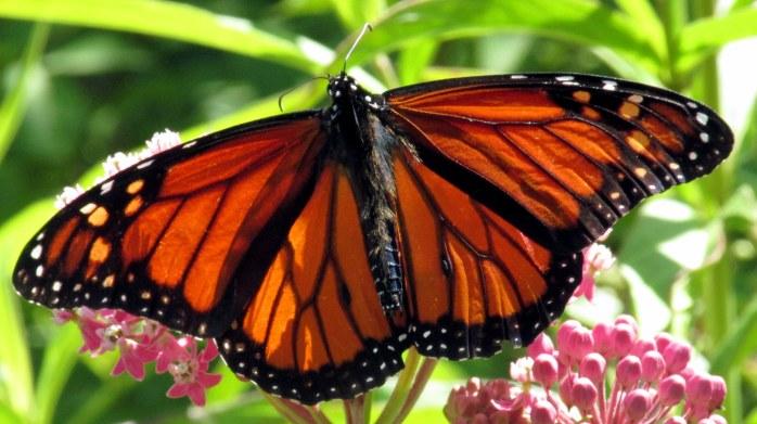 monarchbutterflywingswideopenpinkasclepiasb8Aug2017