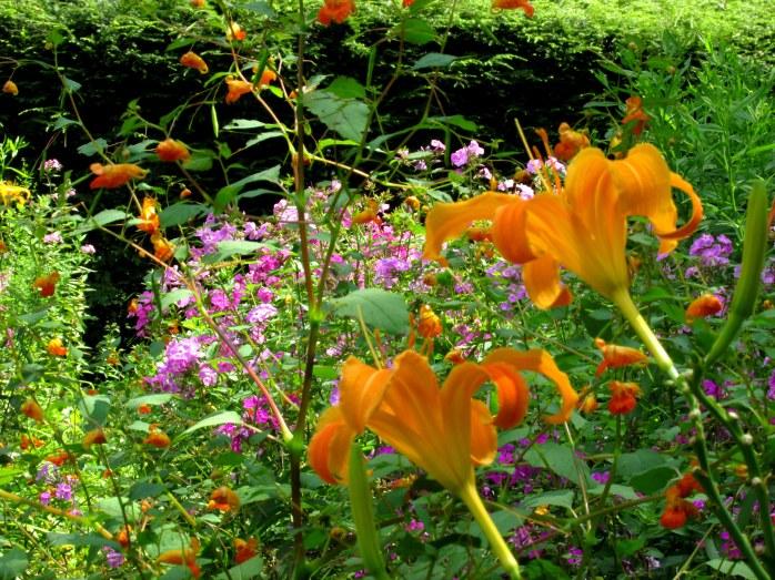 orangedayliliesjewelweedforegroundpurplephloxbackgroundartsycSaintGaudensCornishNH20Aug2017