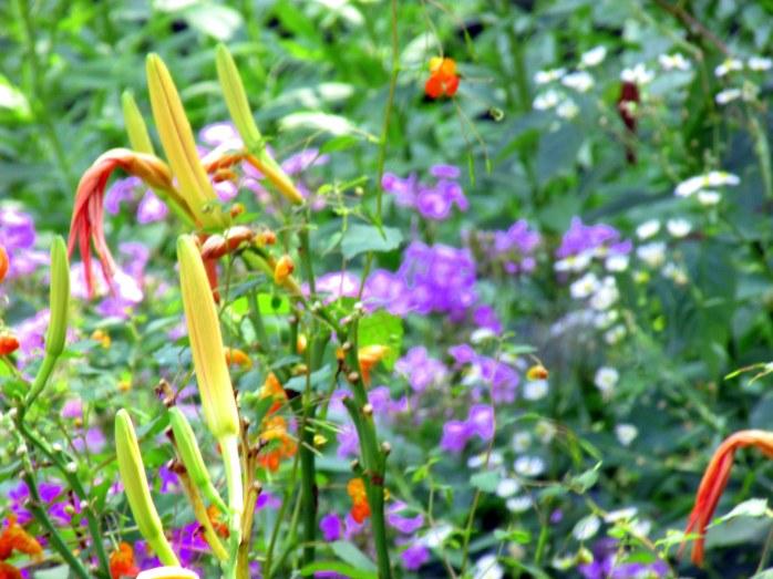 orangedayliliesjewelweedforegroundpurplephloxbackgroundartsySaintGaudensCornishNH20Aug2017