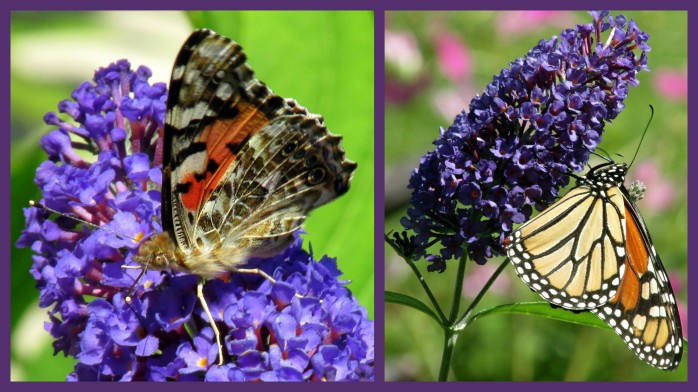 paintedladymonarchbutterfliesbuddleiacollage30Aug2017