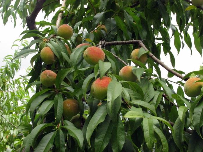 peaches15Aug2017