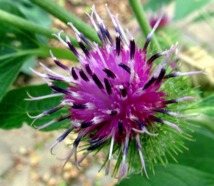 purplespikyArctiumMinuscommonburdockbloom7Aug2017