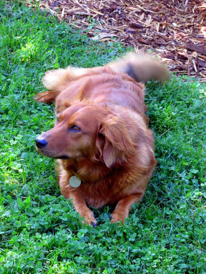 RubydoggrasstailwaggingDistantHillsGardensWalpoleNH6Aug2017