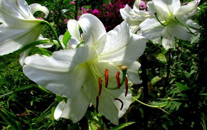 whitetropicalliliesSaintGaudensCornishNH20Aug2017