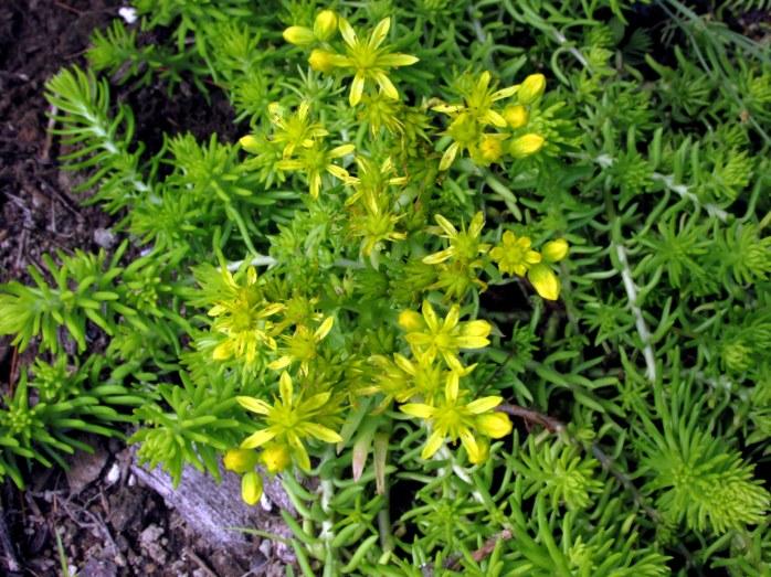yellowflowerAngelinasedumbackborder7Aug2017