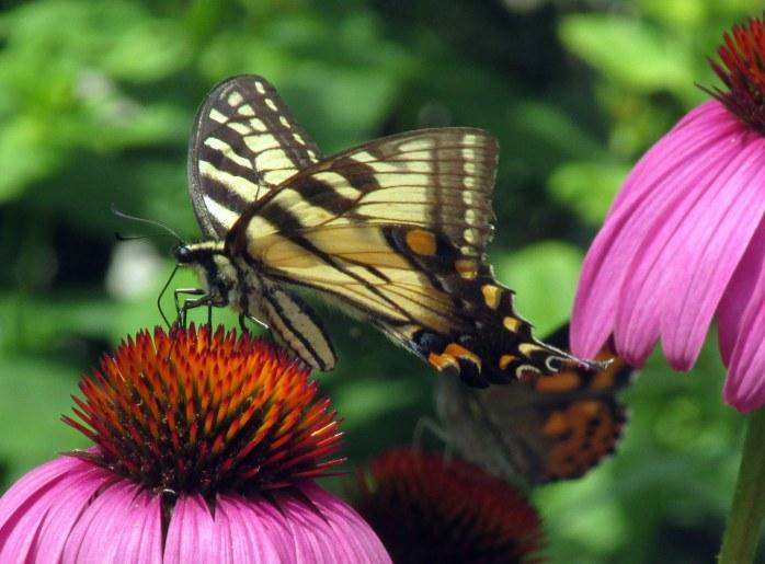 yellowswallowtailbutterflypaintedladyechinaceab2Aug2017