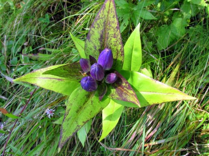 bluebottlegentianflowersKHNP4Sept2017