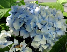 bluehydrangea14Aug2015