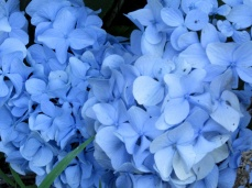 bluehydrangeabloom29July2015