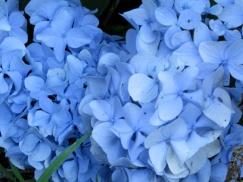 bluehydrangeabloom29July2015