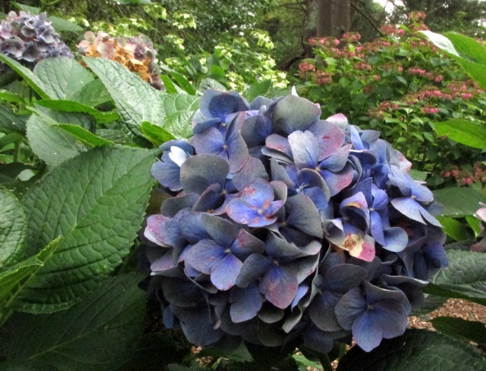 bluehydrangeaHeritageCocktailsforCarsCapeCod16Sept2017