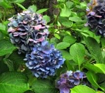 bluehydrangeasbHeritageCocktailsforCarsCapeCod16Sept2017