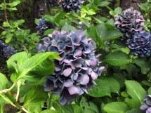bluehydrangeasHeritageCocktailsforCarsCapeCod16Sept2017