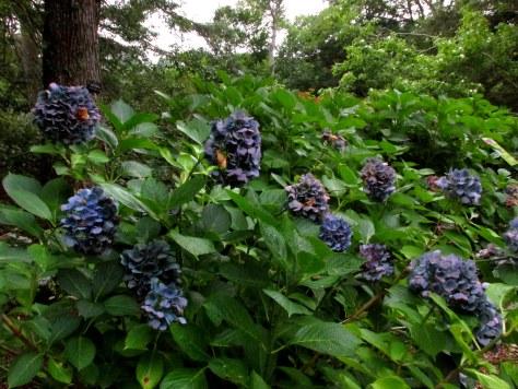 bluehydrangeashrubHeritageCocktailsforCarsCapeCod16Sept2017