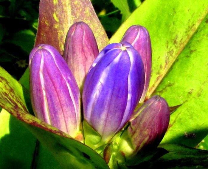 bluepurplegentianflowerscloseKHNP4Sept2017