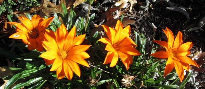 fourcleardayorangegazaniaflowers19Oct2016