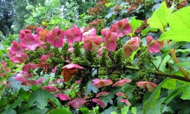 pinkwhiteoakleadhydrangeaflowersleavessunlightLongwoodGardens24July2017