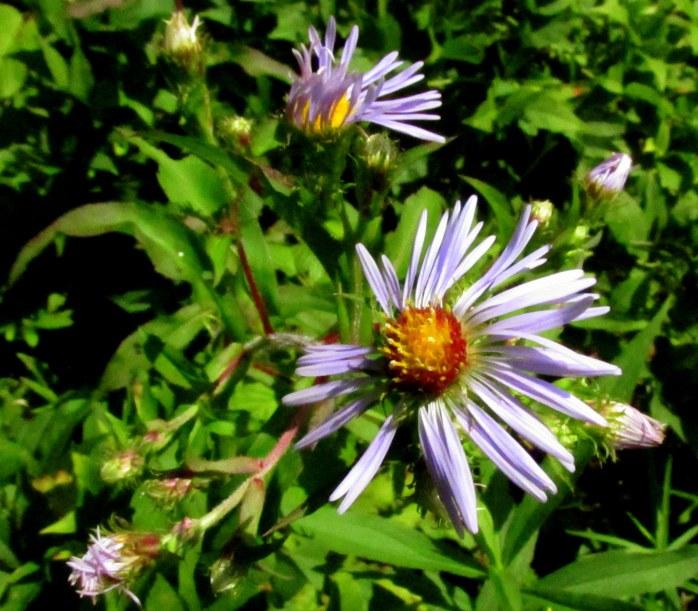 purpleasterflowersKHNP4Sept2017