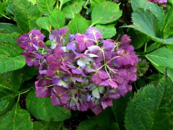purplewhitehydrangeaFrillibetHeritageCocktailsforCarsCapeCod16Sept2017