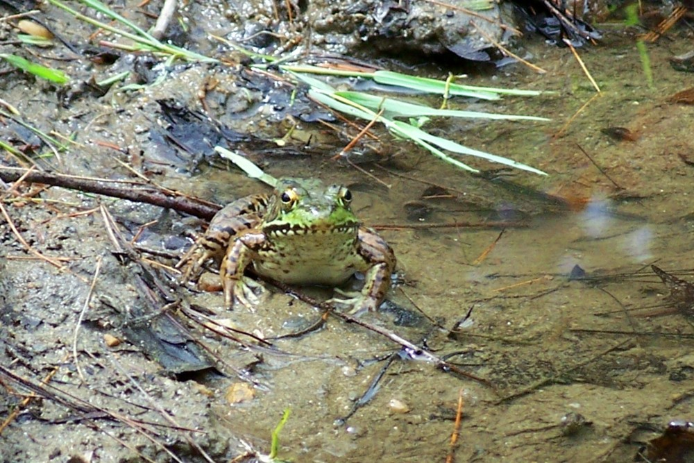 bbgfrog2