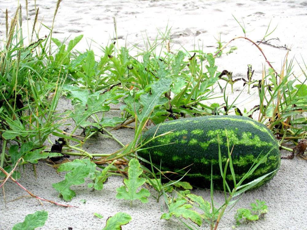 beachwatermelonclosermidbeachJI23Sept2013