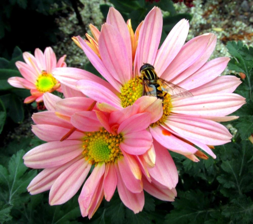 beemimicpinkchrysanthemumsbLongwoodGardens13Oct2017