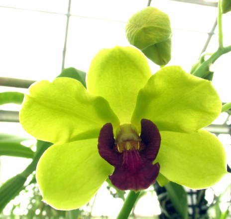 chartreusepurpleorchidCGBGSavannah19Dec2015