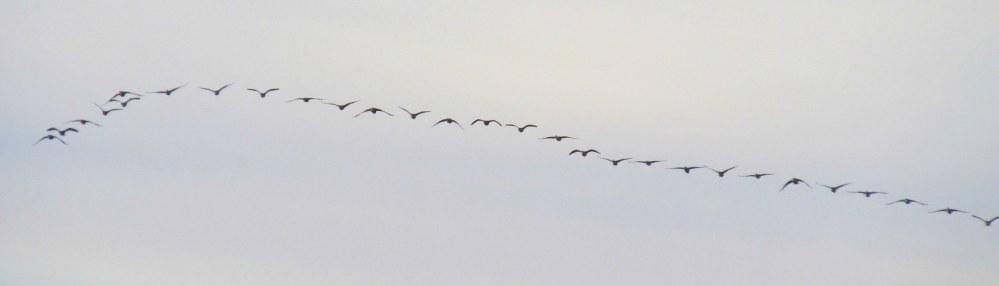 ducksflyinginskyoveroceanSeasideInn30Dec2014