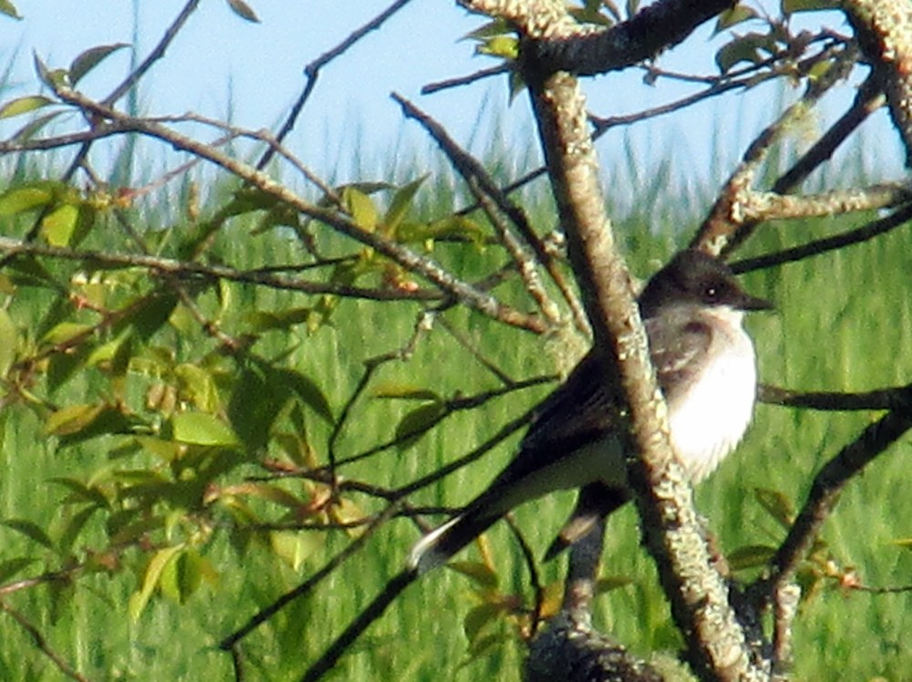 EasternkingbirdsideviewPennyLakePreserveBoothbayME25May2014