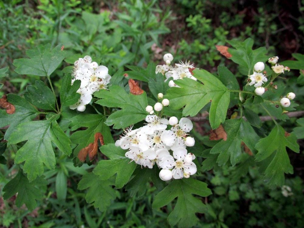 hawthornflowersleavesPennyLakeBRLT11June2015