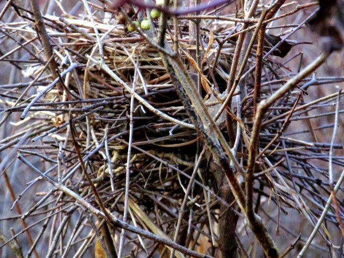 largishtwigbirdnestcloseMurdockPreserveTAMMiddleburyVT1Nov2015