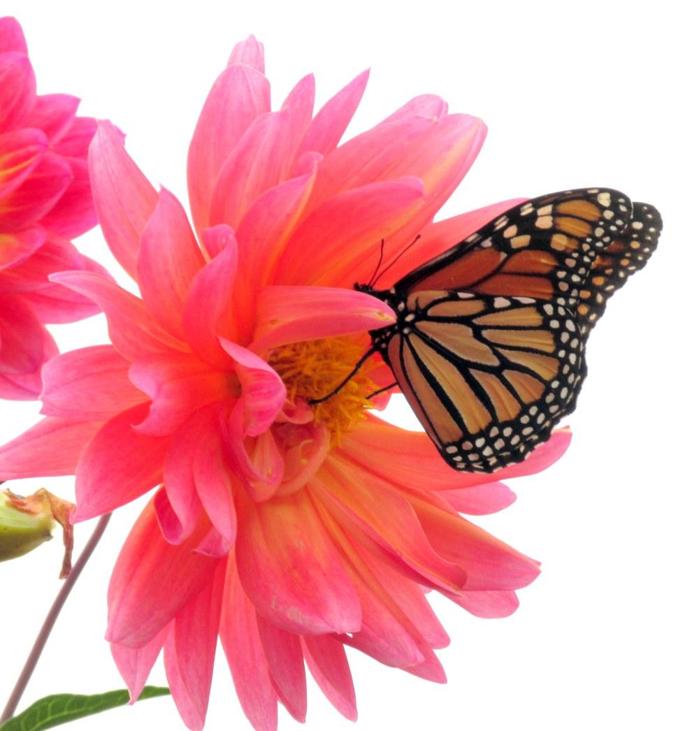 monarchbutterflypinkdahliabestLongwoodGardens13Oct2017.JPG