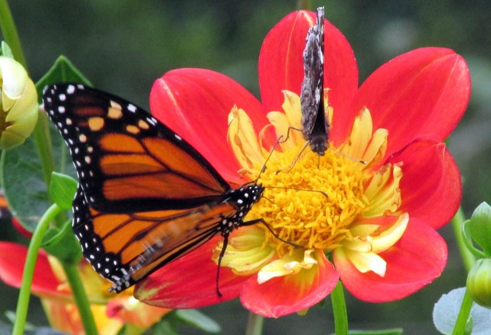 monarchredadmiralbutterflyredyellowdahliaFlowerWalkLongwoodGardens13Oct2017
