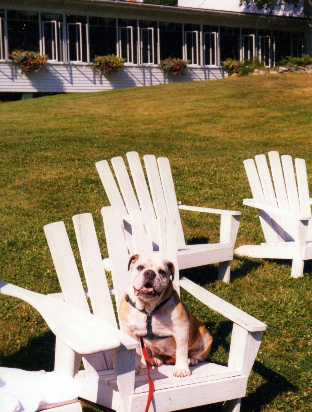 PetuniabulldogadirondackchairLawnmereInnSouthportMElate1990s