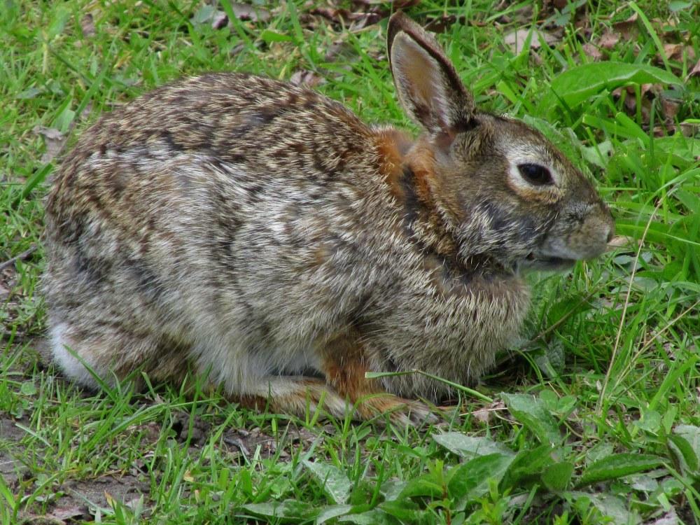 RabbitBsideSachuestPointNWRMiddletownRI7May2017