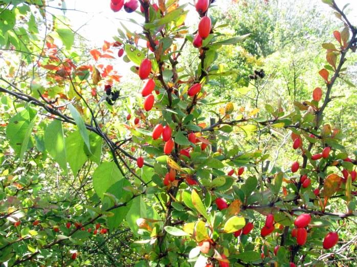 redJapanesebarberryfruitssunlightLaudholmFarmWellsME29Sept2017