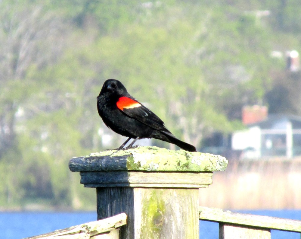 redwingedblackbirdpostfacingSeaWhalemotelMiddletownRI7May2017