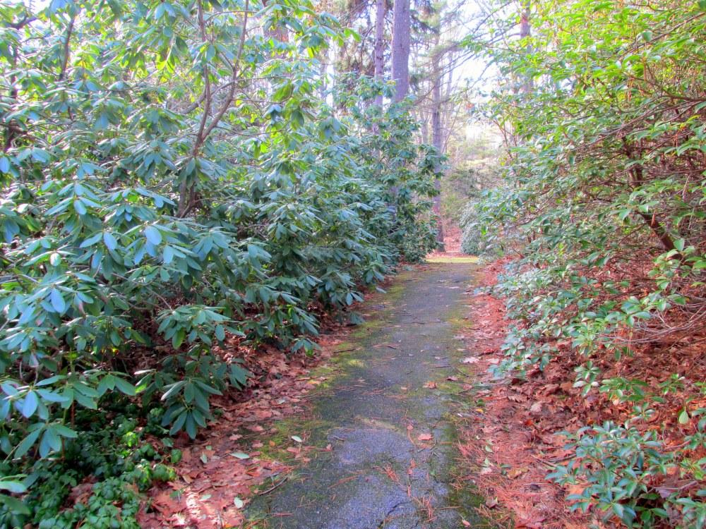 rhododendronpathFranciscanMonasteryKennebunk29Dec2014