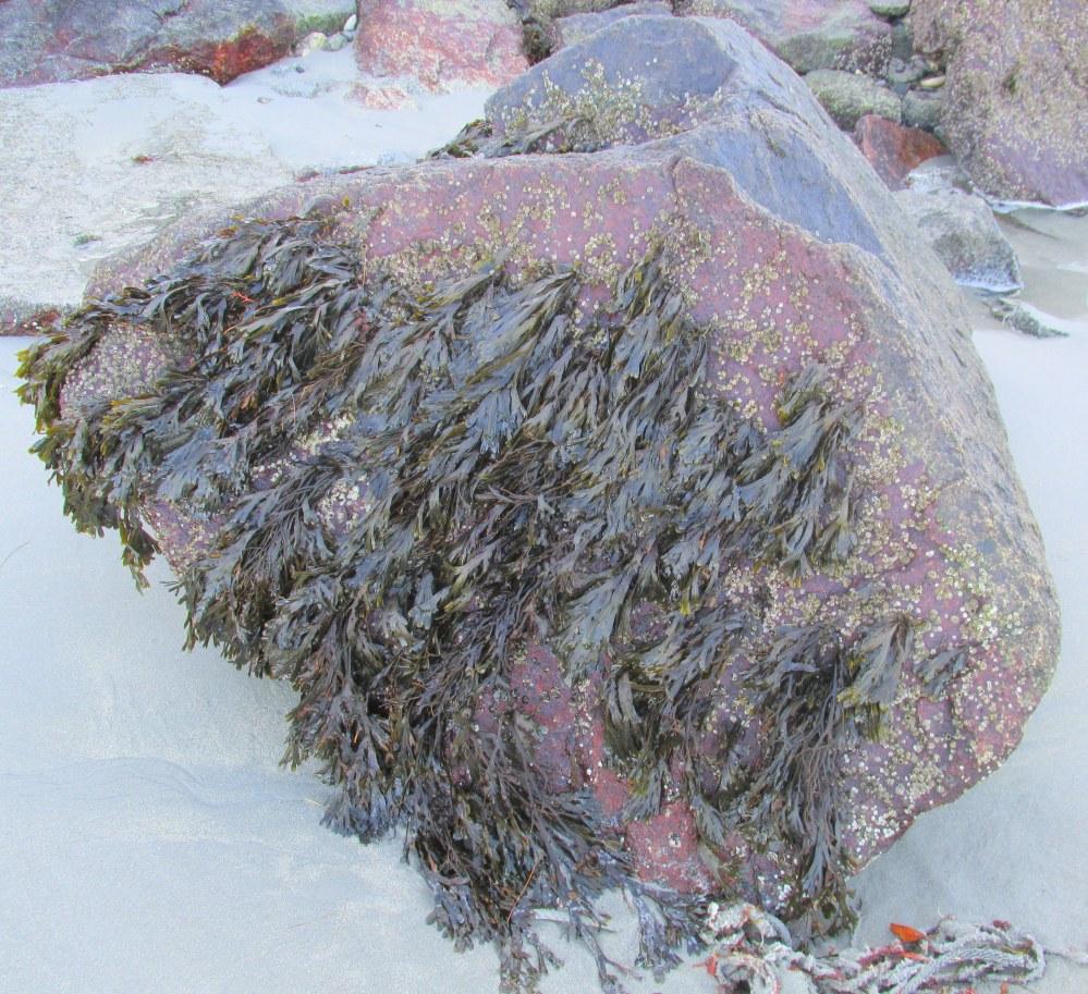 seaweedgrowingonseawallrockSeasideInn29Dec2014