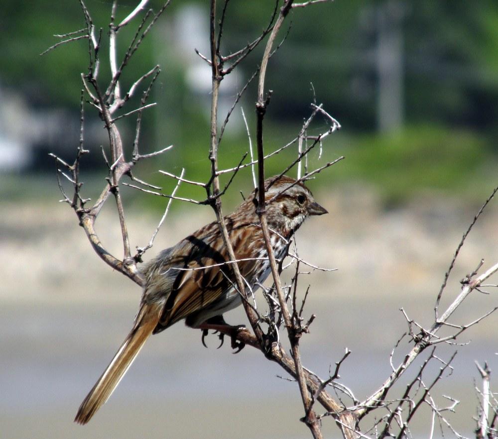 sparrowinsnagMarginalWayOgunquitME1June2016