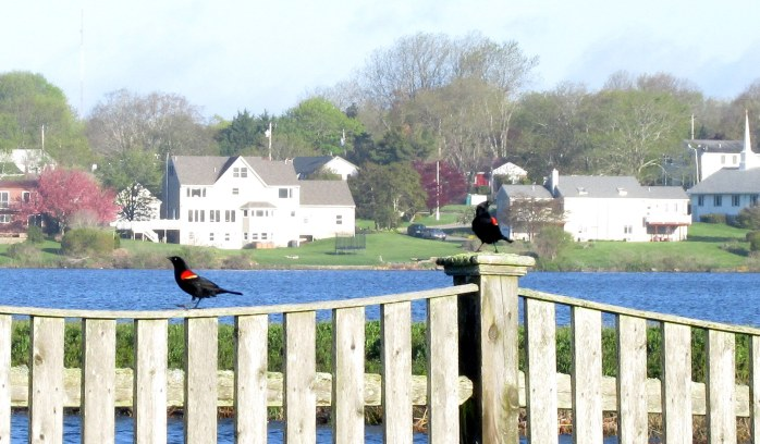 twomaleredwingblackbirdsposthousesbackgroundSeaWhalemotelMiddletownRI7May2017