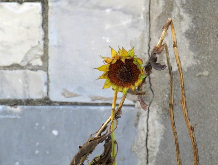 yellowsunflowerbloomgreystonemarblewallMarbleWorksMiddleburyVT23Nov2016