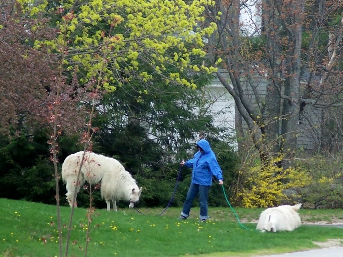 alpacasgrazinginownersfrontyard11may2011