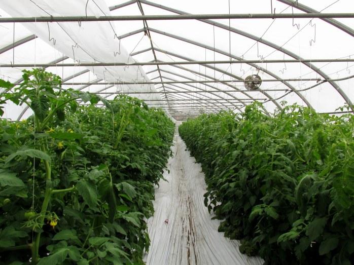 tomatogreenhouserowsSpringLedgeFarmNLNH15May2016