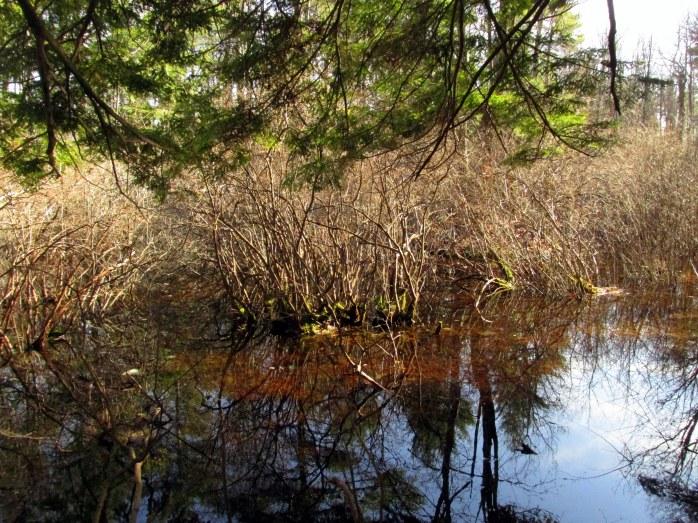 wetlandwherewoodfrogswereOakHillTrailsConcord27March2016